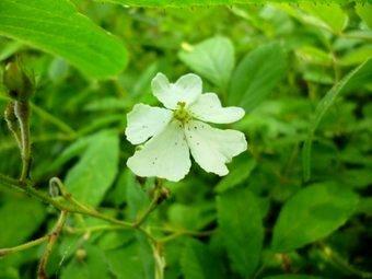 P1130415forest_flower.JPG