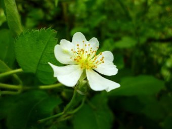 P1130416forest_flower.JPG